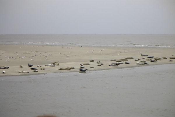 Robbenbank in der Nordsee