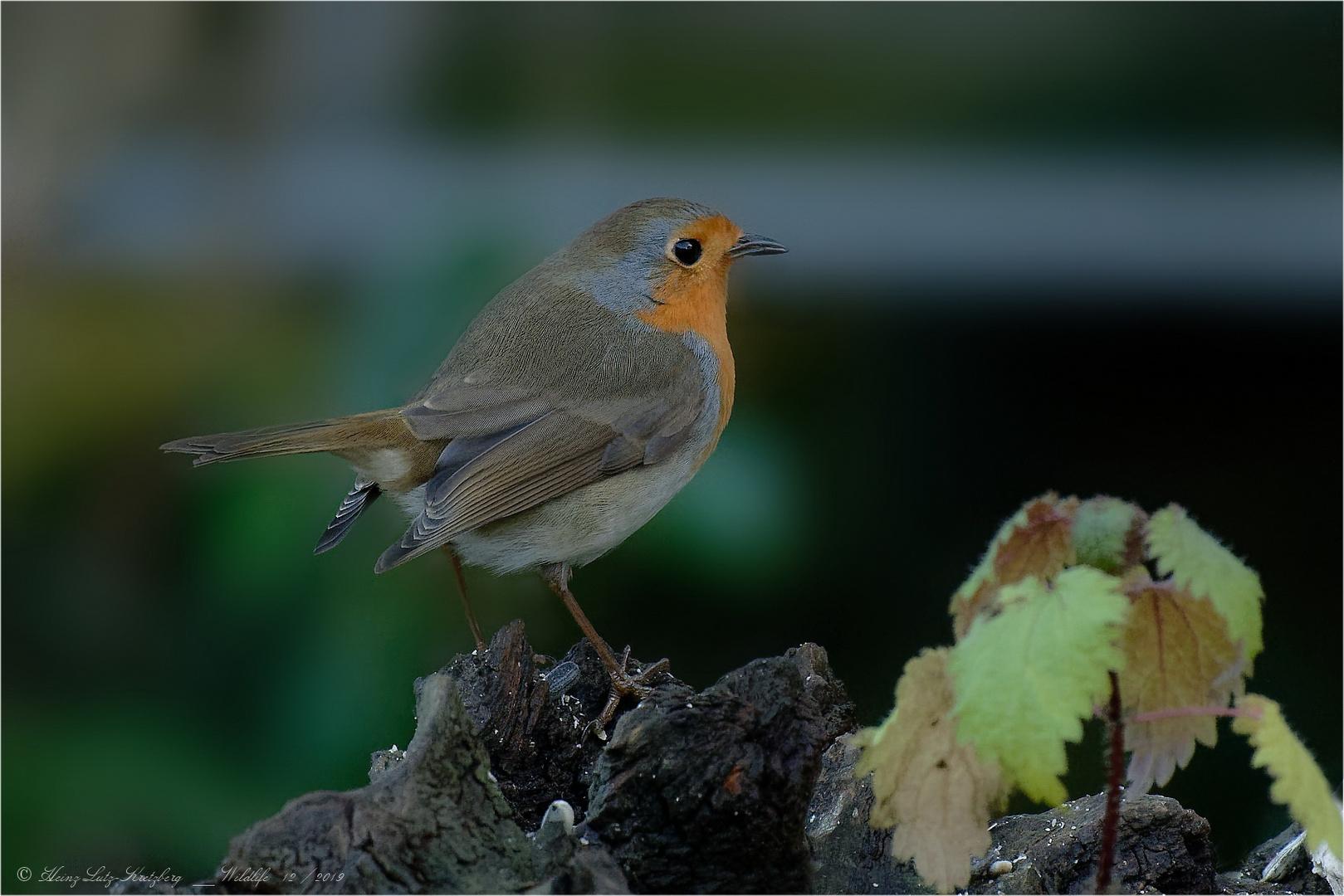 Robin ... immer wieder schön anzusehen ... oder ??