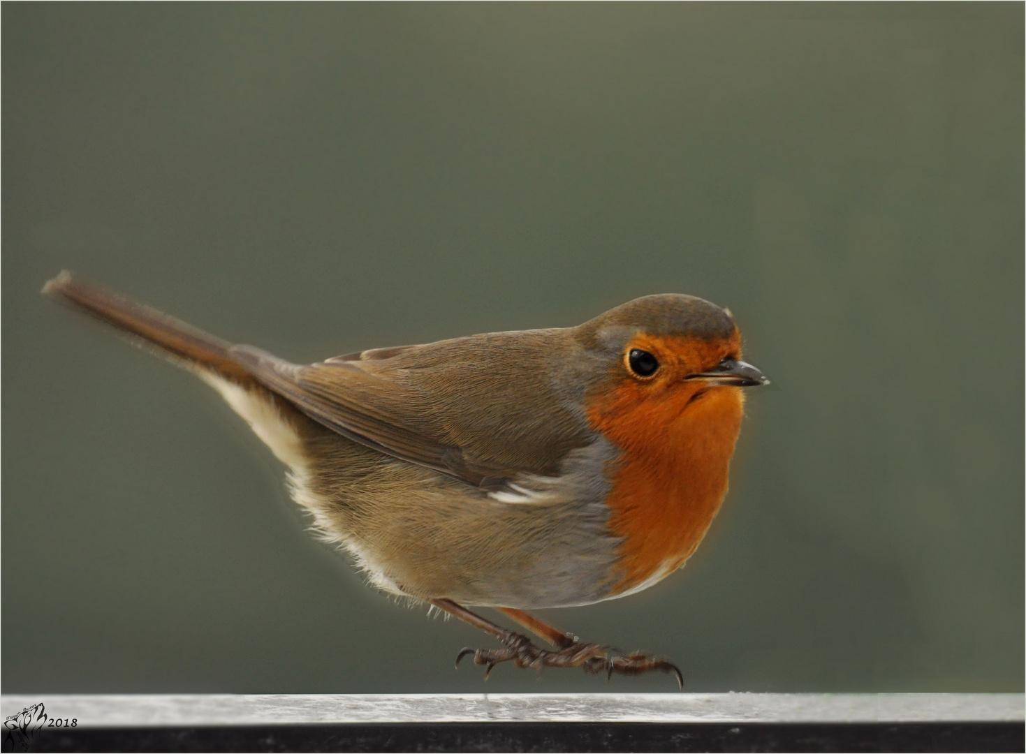 Robin just before landing ..