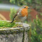 Robin on birdbath
