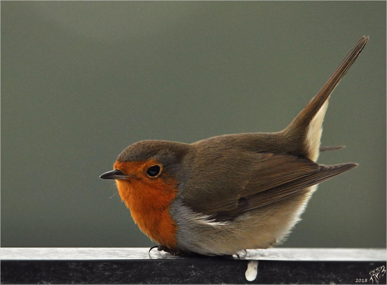 Robin relaxing ..