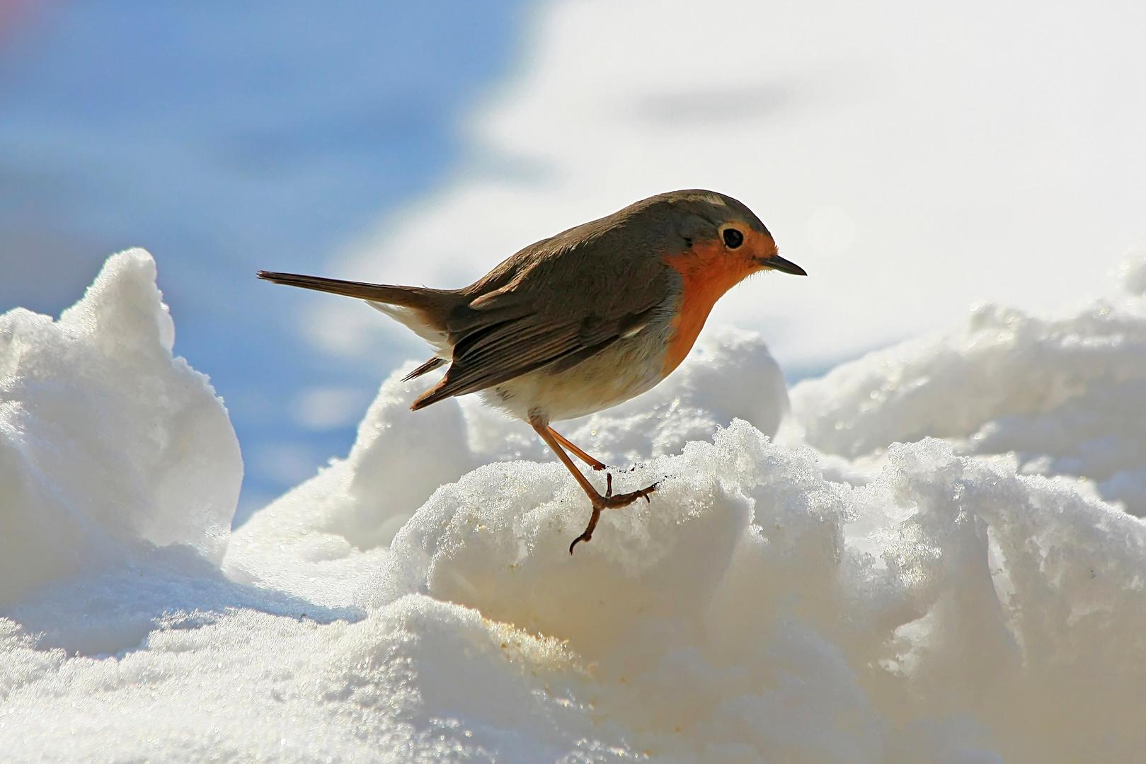 Robin torna sempre (anche perchè trova le briciole )