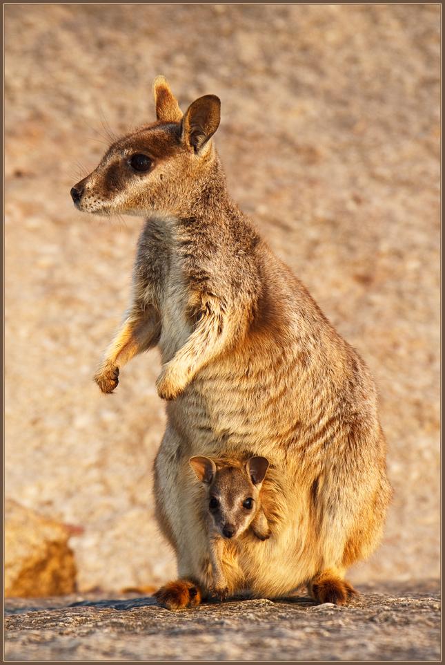 Rock-Wallaby ^ 2