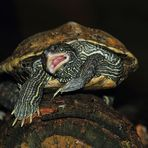 Rockende Schildkröte