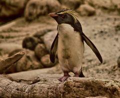 Rockhopper penguins 1