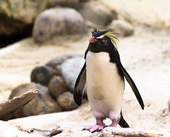 Rockhopper penguins 2