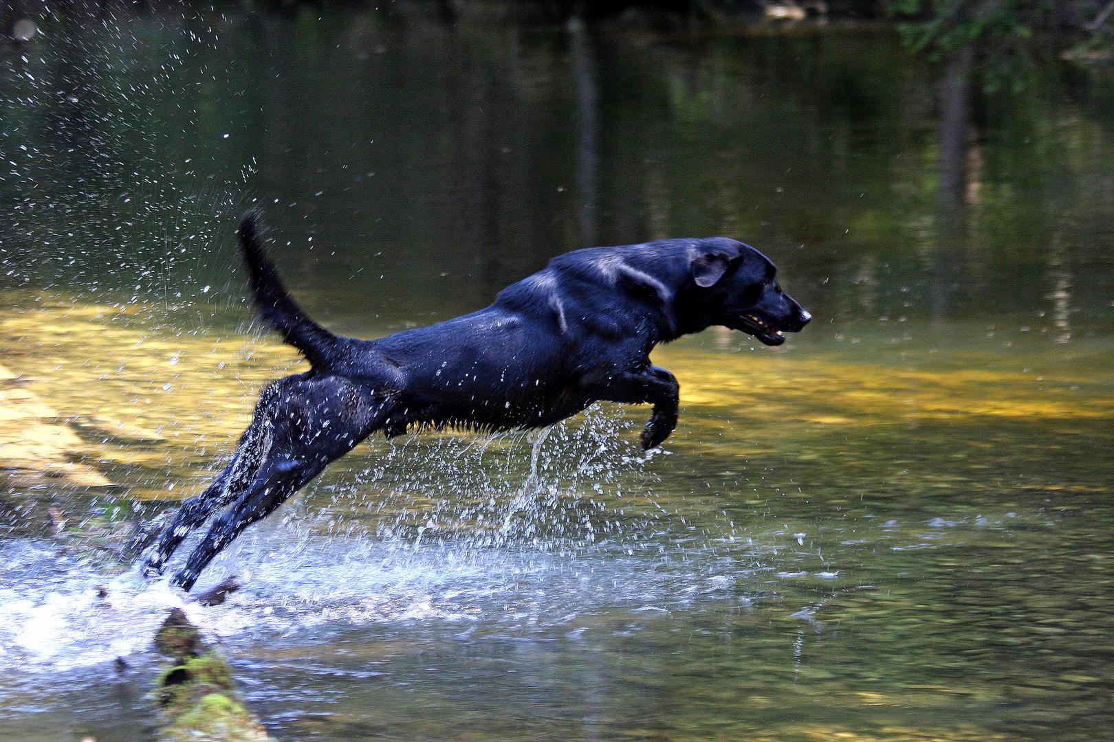 Rocky beim Apportieren vom anderen Flussufer