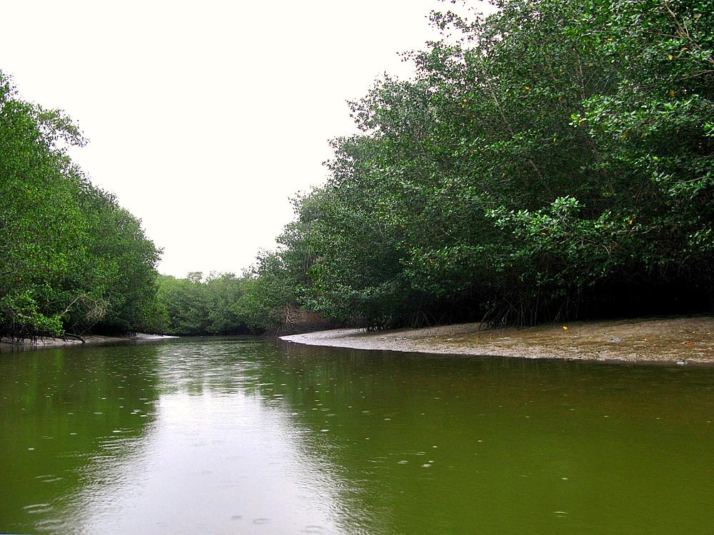 Rodales de manglar