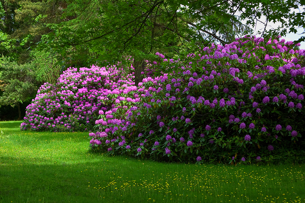 rododendron im schwarzwald foto bild pflanzen pilze flechten str ucher rhododendron. Black Bedroom Furniture Sets. Home Design Ideas