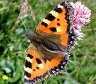Röhner Schmetterling