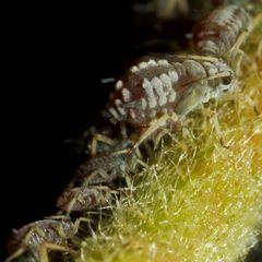Röhrenblattläuse (VIII)