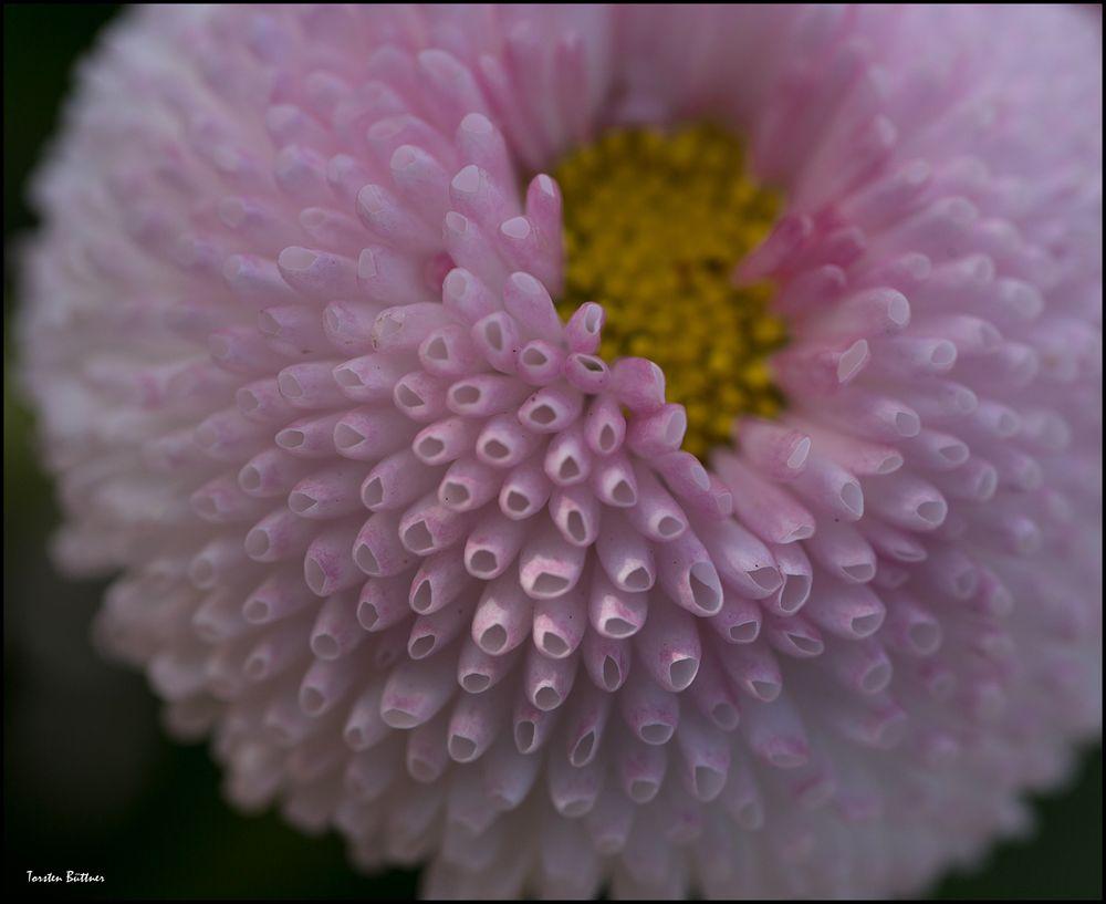 Röhrenblümchen