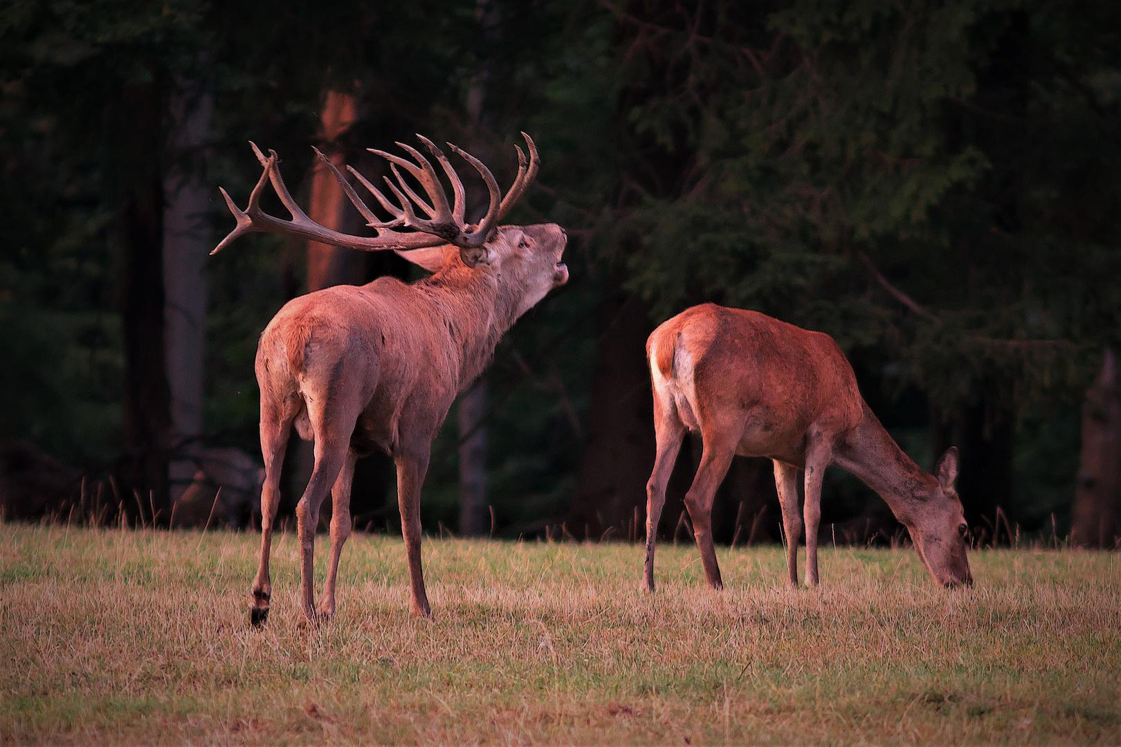 Röhrender Hirsch Vom Hohenroth Foto Bild Tiere Wildlife