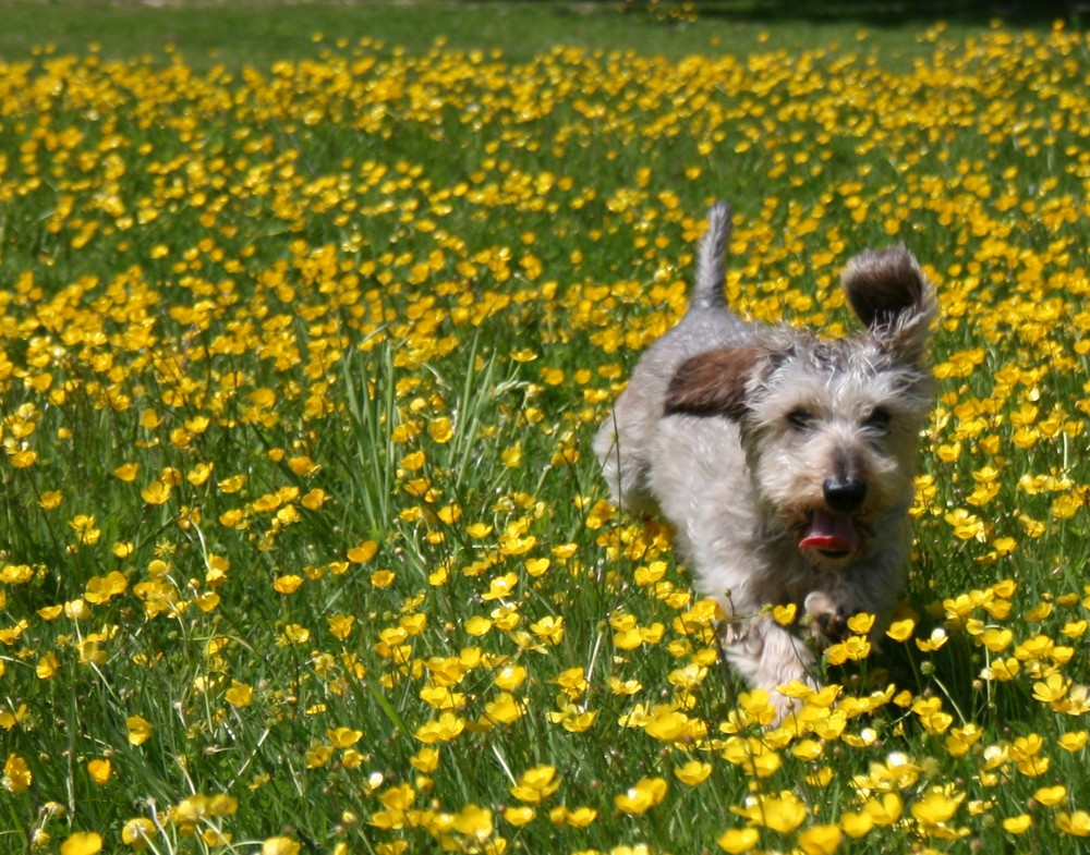 Roesti in the buttercups at Baynards, Surrey