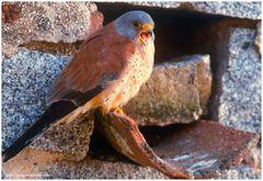 --- Rötelfalke männl. vor der Bruthöhle --- ( Falco naumanni )