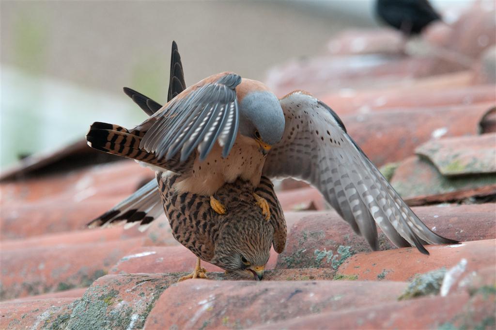 Rötelfalken (Falco naumanni)