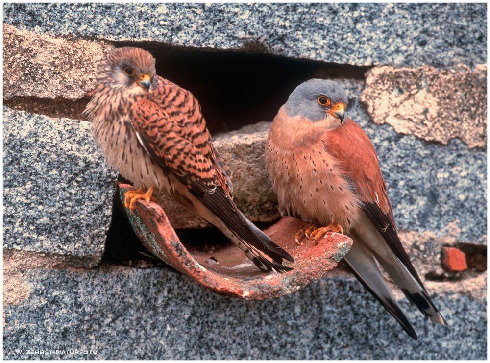 --- Rötelfalken-Paar vor der Brüzhöhle --- ( Falco naumanni )