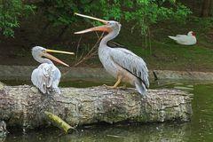 Röthelpelikane im Zoo Neuwied