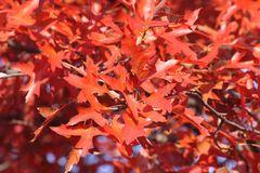 Rötliche Blätter der Sumpfeiche