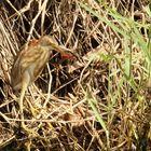 Rohrdommel mit Libelle