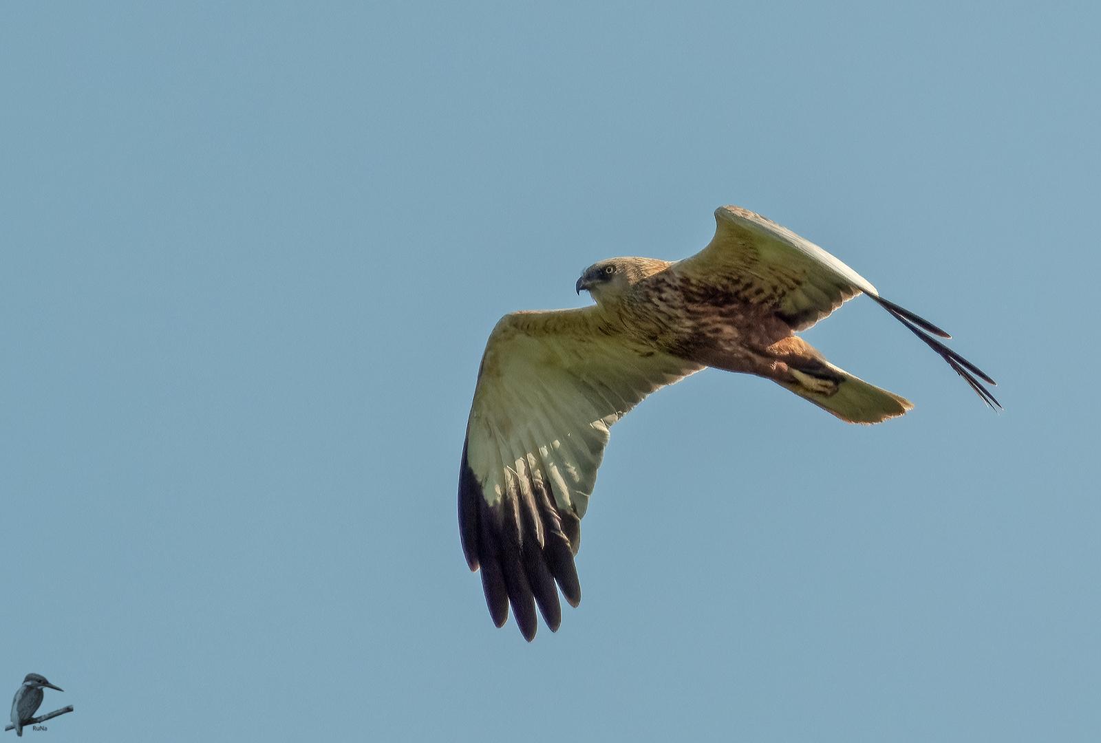 Rohrweihe beim Überflug III