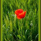 Roja entre los verdes
