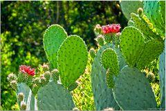 Roja flores de cactus
