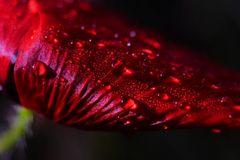 Rojo Amapola
