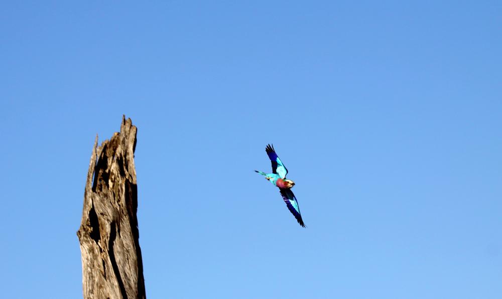 Rollier à gorge lilas (Lilac breasted roller) - Masai Mara / Kenya - Take off !
