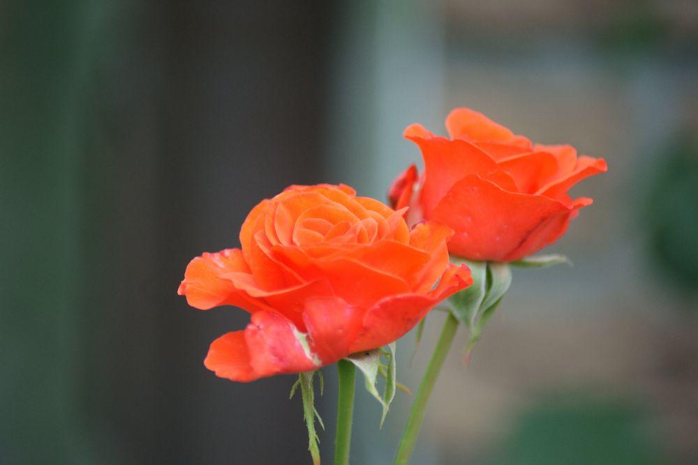 Romantische rote Rosenblüten