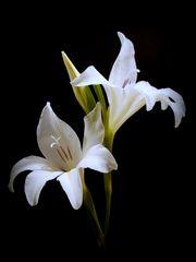 Romanze in Weiß ... ...