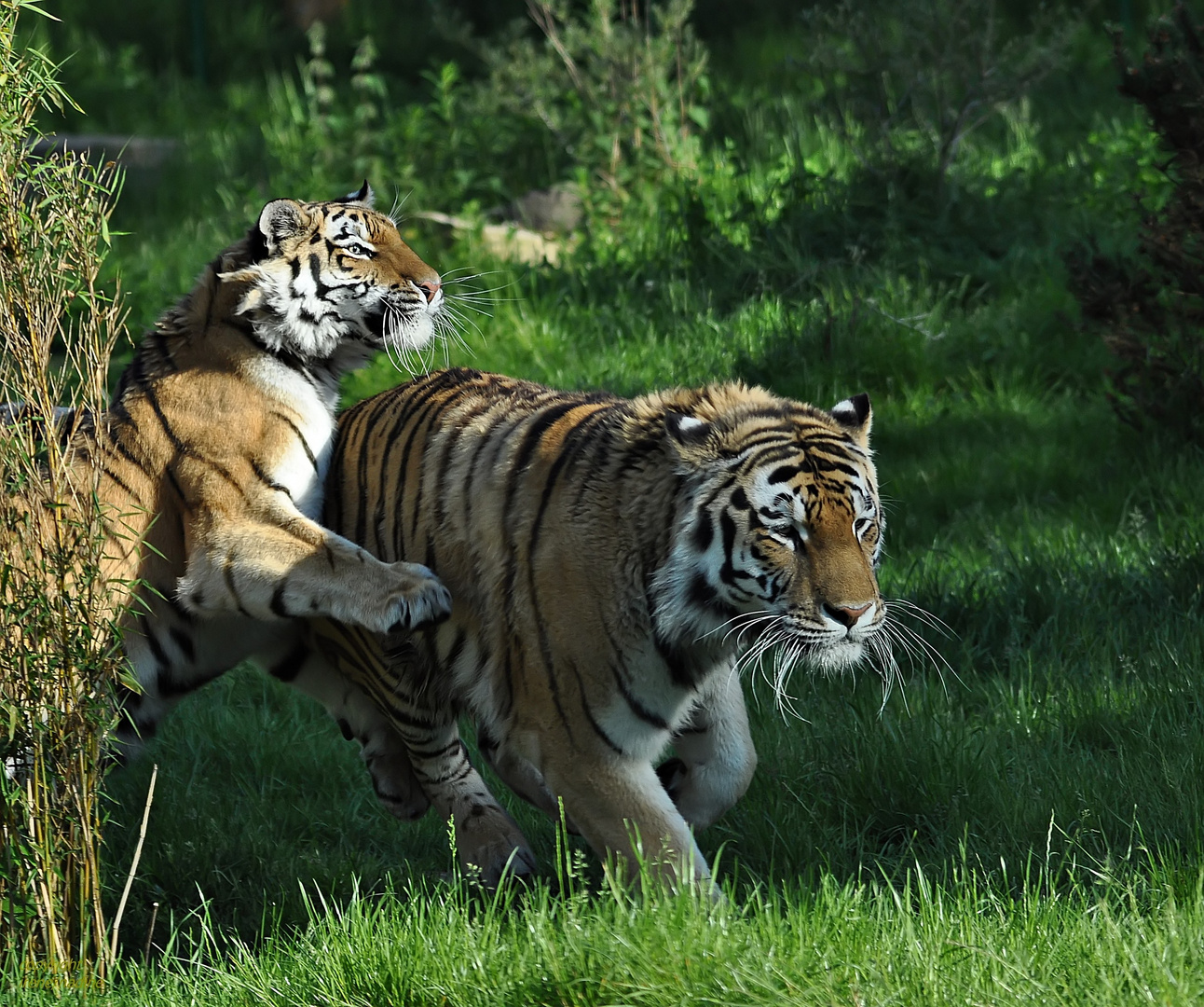 RONJA´s Beute: Tigermann ALEX