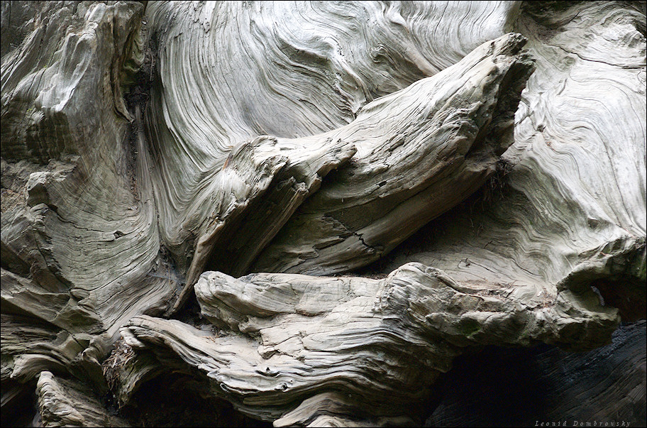 Roots of old sequoia