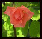 Rosa - 1