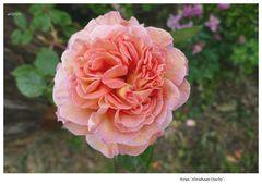 Rosa 2020.036