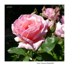Rosa 2020.145
