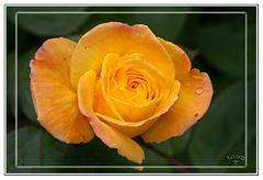 Rosa amarilla del jardin de mi Padre