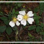 Rosa arvensis, die Kriechende Rose