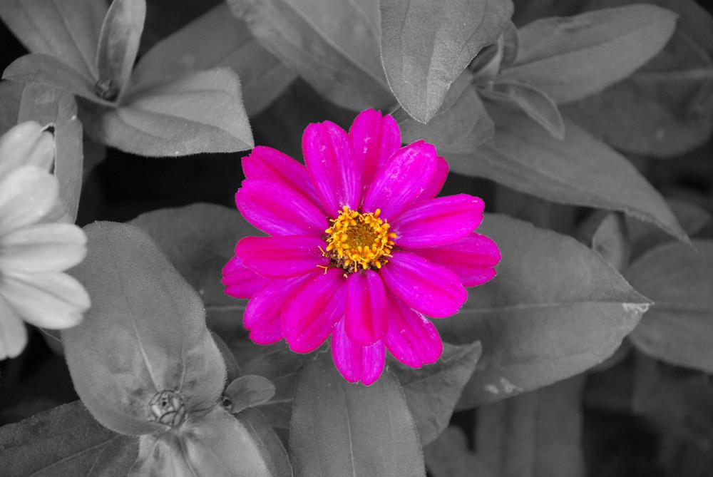 rosa auf grau