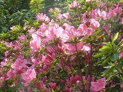 rosa Azaleen in der Sonne