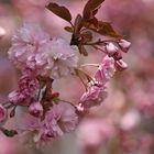 Rosa Bäume.....