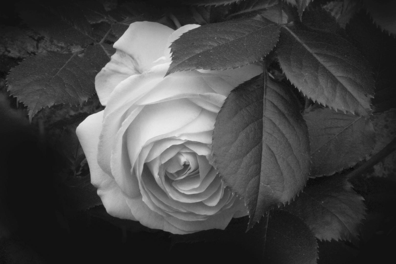 .rosa ..bianca...