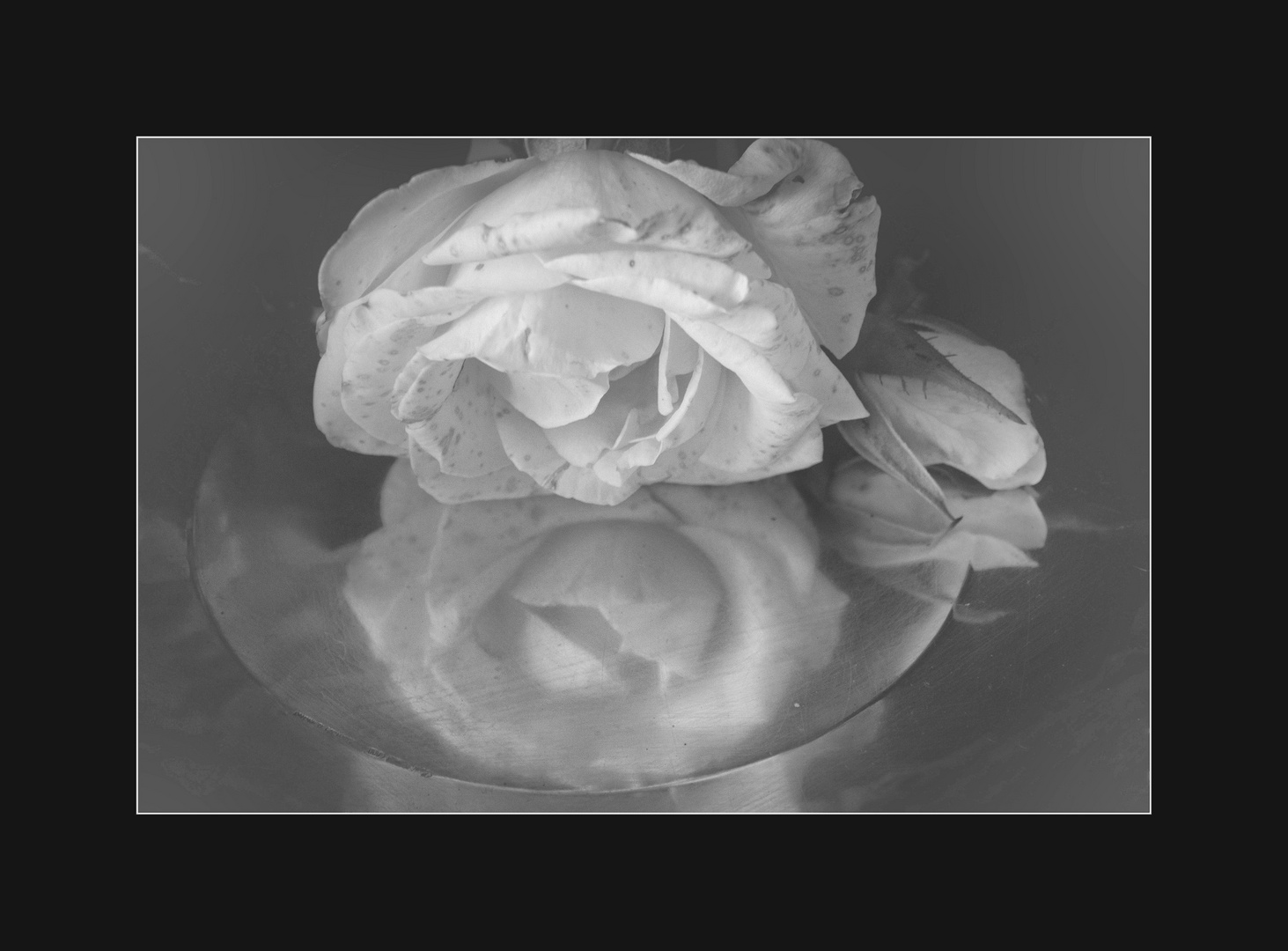 .rosa bianca...