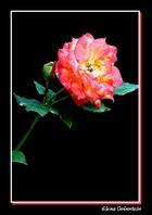 Rosa bicolor