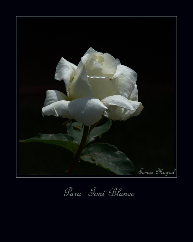 Rosa Blanca para Toni Blanco