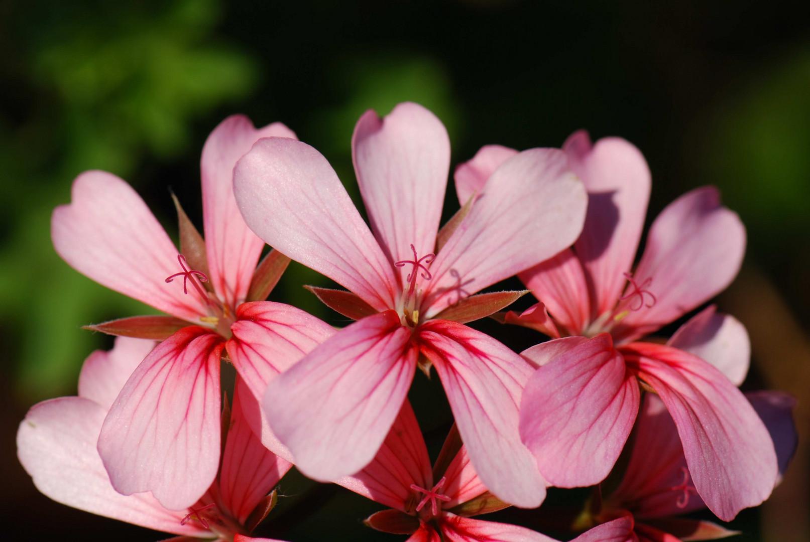Rosa Bluhende Geranie Foto Bild Pflanzen Pilze Flechten