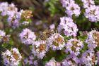 Rosa Blüten mit Biene