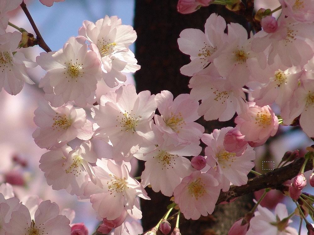 Rosa Blütendach