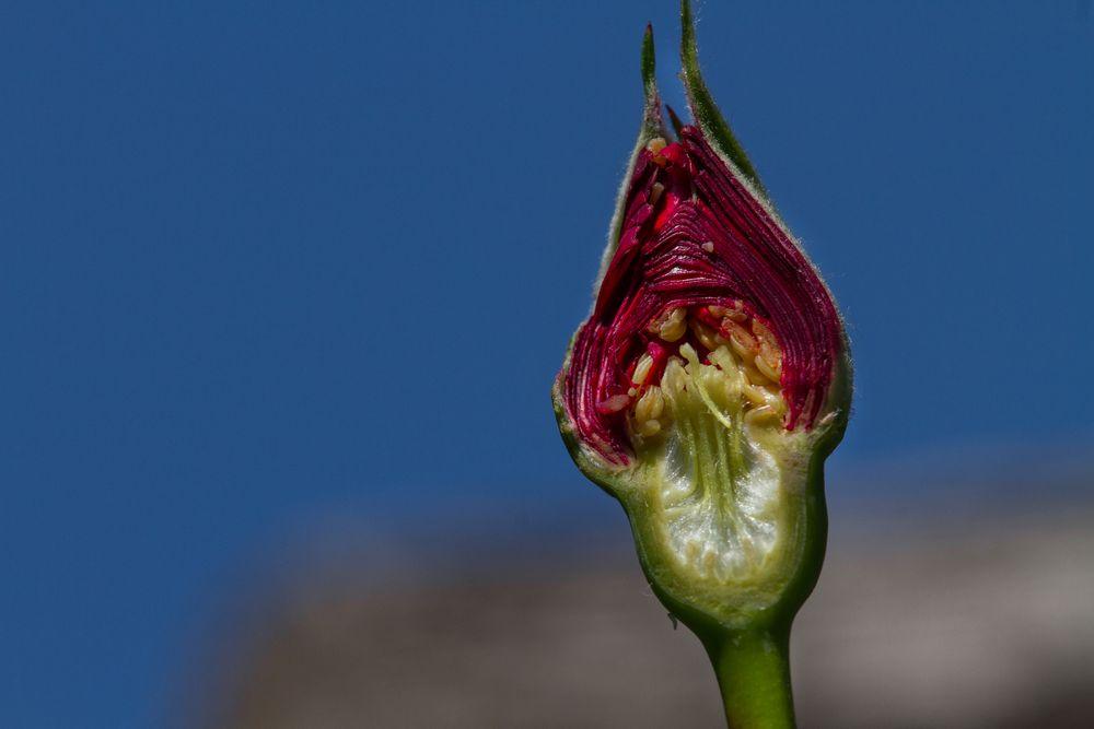 Rosa Blütenknospe längs