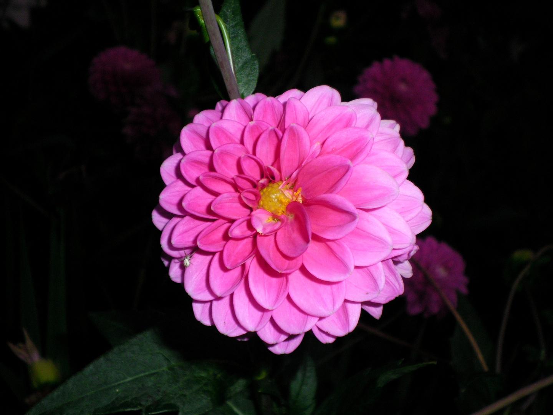 Rosa Blume mit Gast